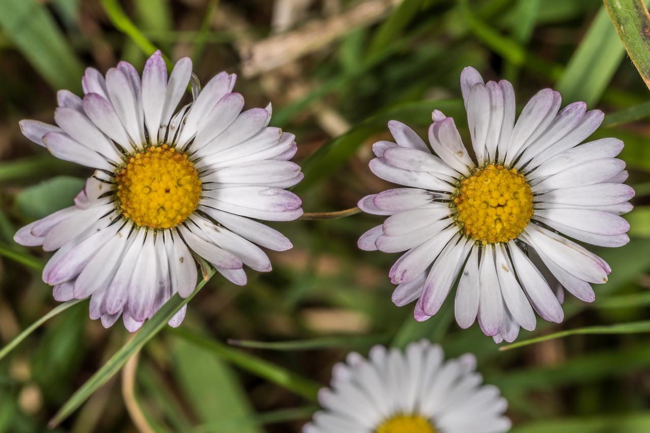 Common daisy (Bellis perennis) flower. Tomahawk Track, Dunedin.