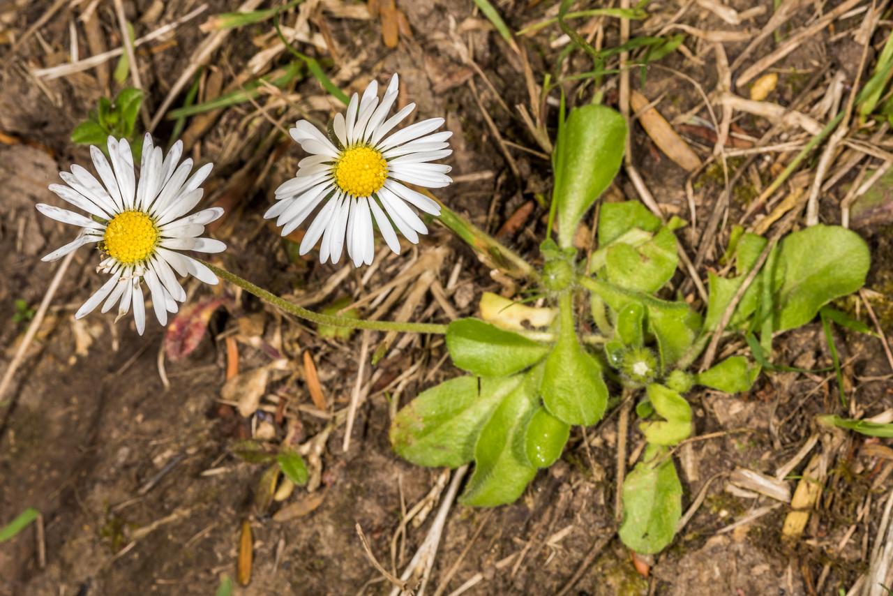 Common daisy (Bellis perennis). Heyward Point Reserve, Dunedin.