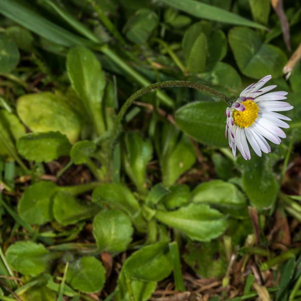 Common daisy (Bellis perennis). Tomahawk Track, Dunedin.