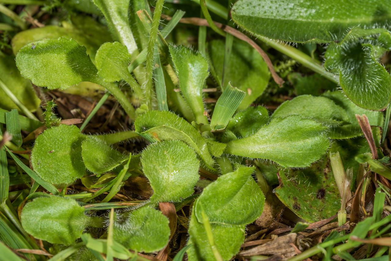 Common daisy (Bellis perennis) leaves. Tomahawk Track, Dunedin.