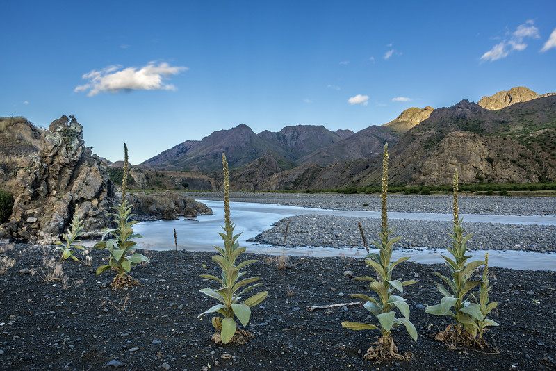 "Great mullein or common mullein (Verbascum thapsus), aka ""indian toilet paper"". Clarence River"