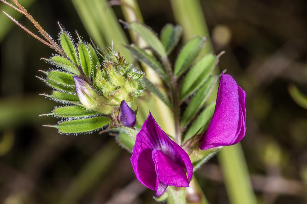 Common vetch (Vicia sativa). Heyward Point Reserve, Dunedin.