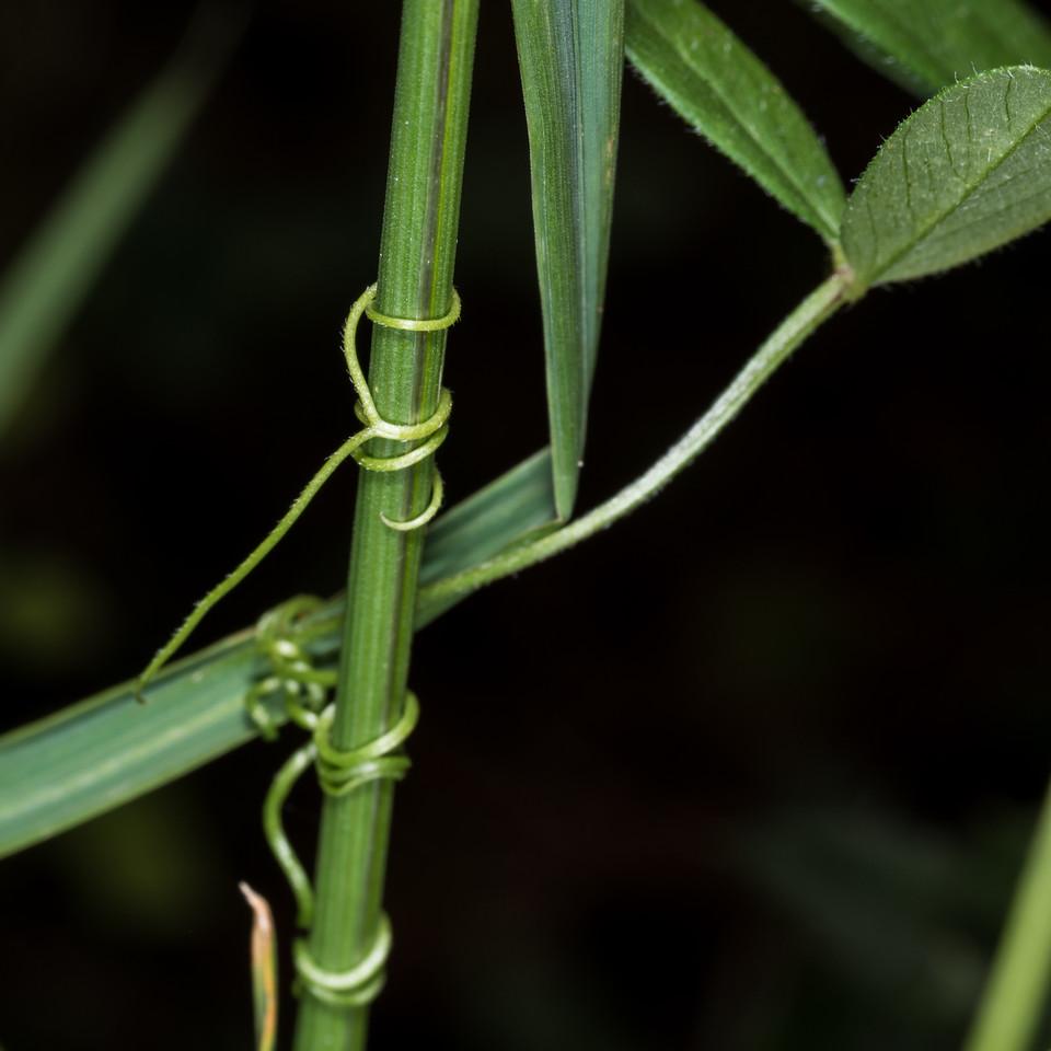 Common vetch (Vicia sativa). Heyward Point, Dunedin.