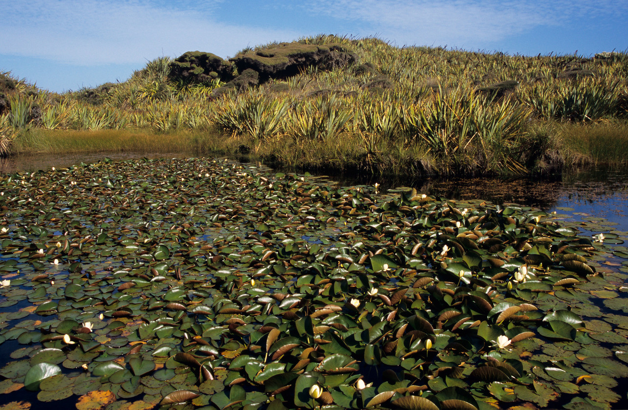 Common water lily (Nymphaea alba). Martins Creek, Mason Bay, Stewart Island