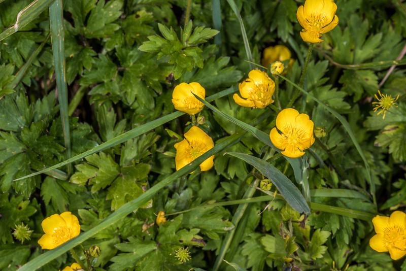 Creeping buttercup (Ranunculus repens). Tomahawk Track, Dunedin.