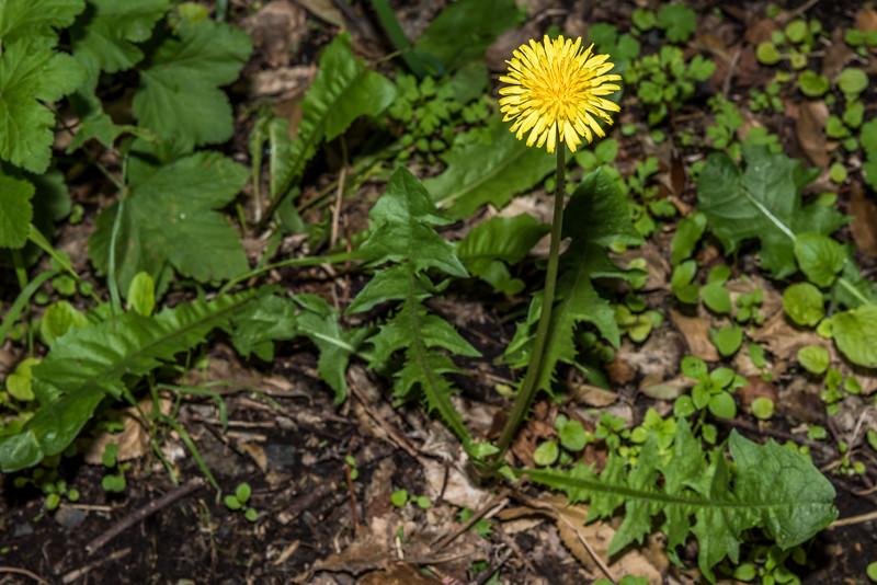 Dandelion (Taraxacum officinale). Opoho, Dunedin.