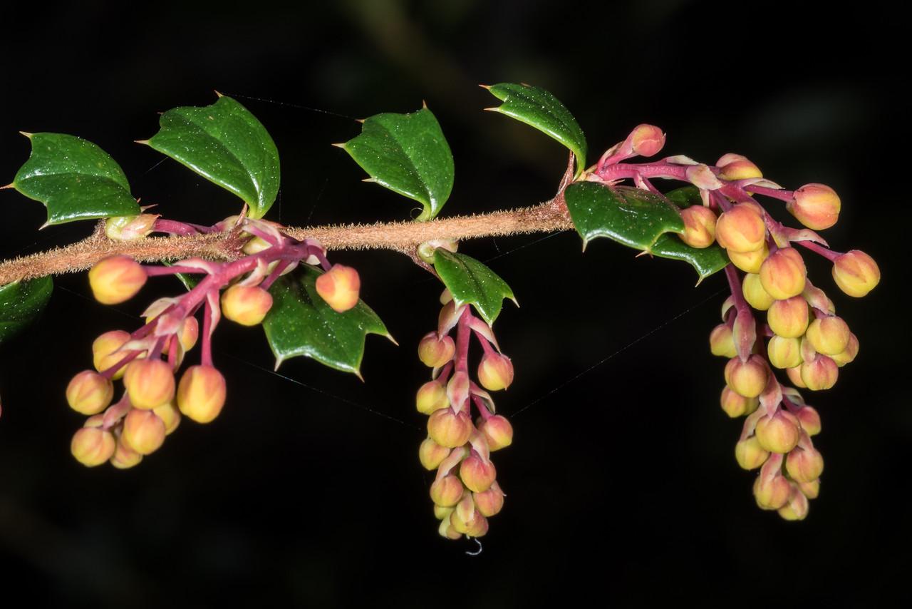 Darwins barberry (Berberis darwinii). Opoho, Dunedin.