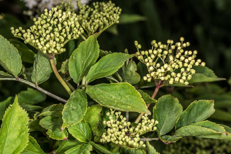 Elderberry (Sambucus nigra). Tomahawk Track, Dunedin.