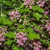 Flowering currant (Ribes sanguineum). Opoho, Dunedin.