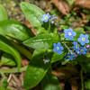 Garden forget-me-not (Myosotis sylvatica). Opoho, Dunedin.