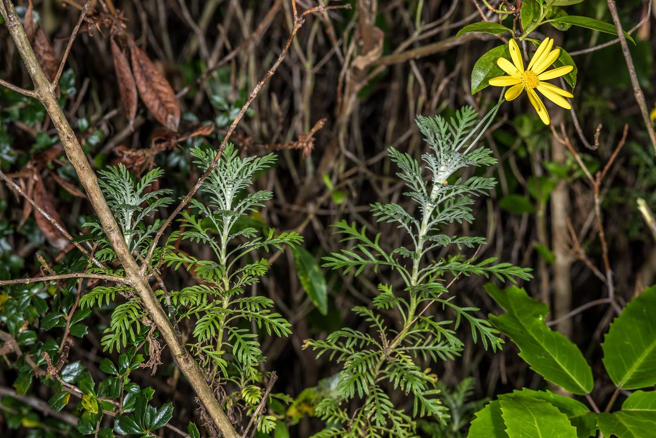 Golden bush daisy (Euryops pectinatus). Opoho, Dunedin.