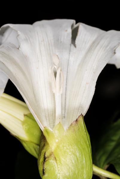 Great bindweed (Calystegia silvatica). Opoho, Dunedin.