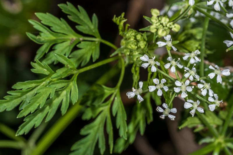 Hemlock (Conium maculatum). Tomahawk Track, Dunedin.