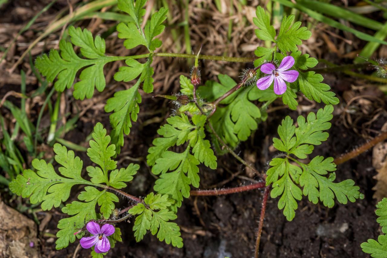 Herb Robert (Geranium robertianum). Opoho, Dunedin.