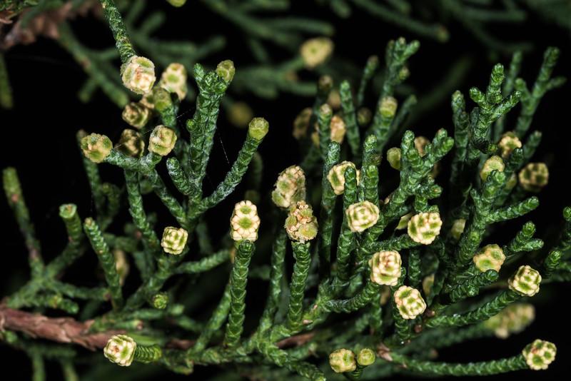 Macrocarpa (Cupressus macrocarpa). Long Beach, Dunedin.