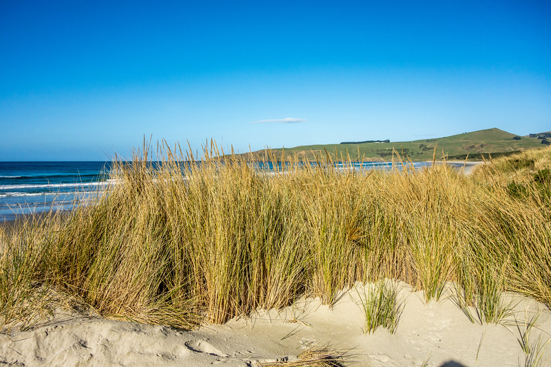 Marram grass (Ammophila arenaria). Victory Beach / Okia, Otago Peninsula.