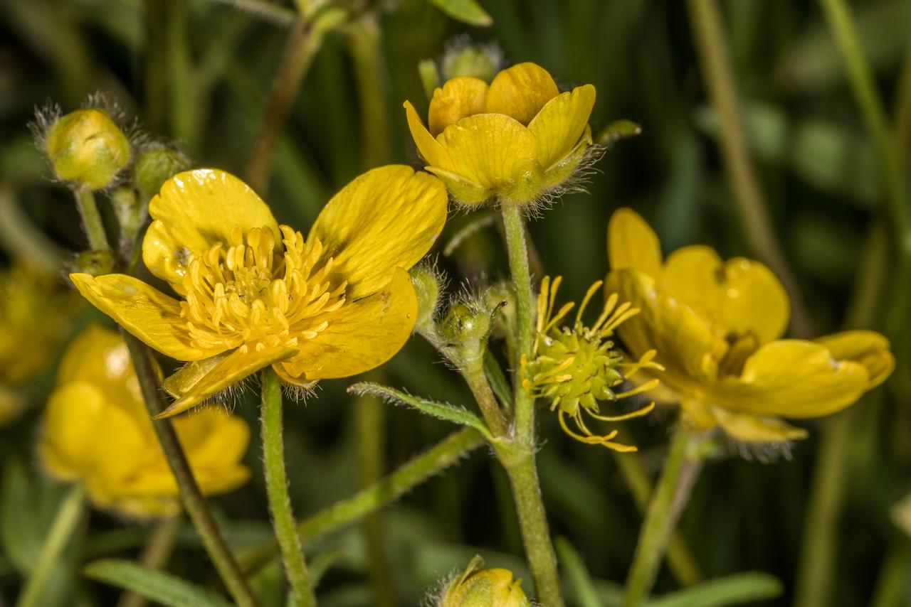Meadow buttercup (Ranunculus acris). Tomahawk Track, Dunedin.