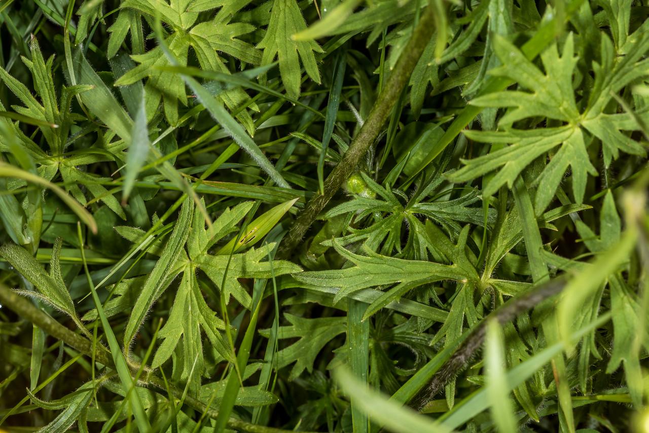 Meadow buttercup (Ranunculus acris) leaves. Tomahawk Track, Dunedin.