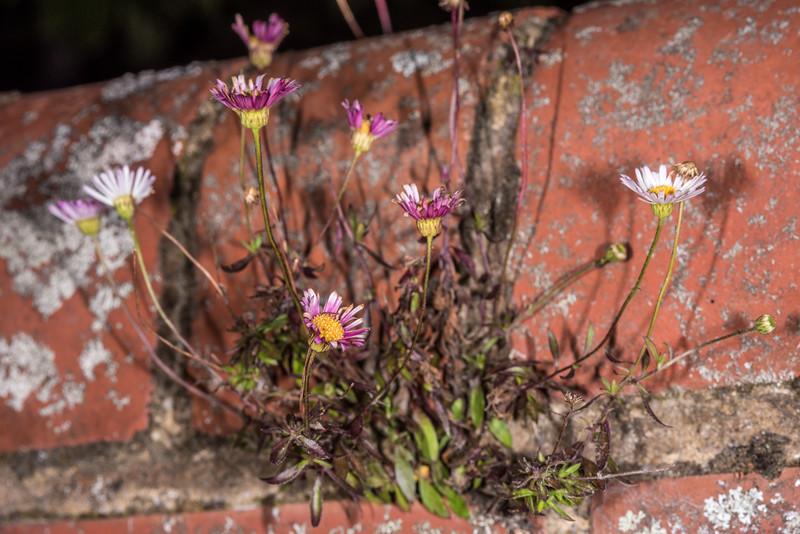 Mexican daisy (Erigeron karvinskianus). Opoho, Dunedin.