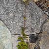 Mouse-ear chickweed (Cerastium fontanum). Otekaieke River, St Marys Range.