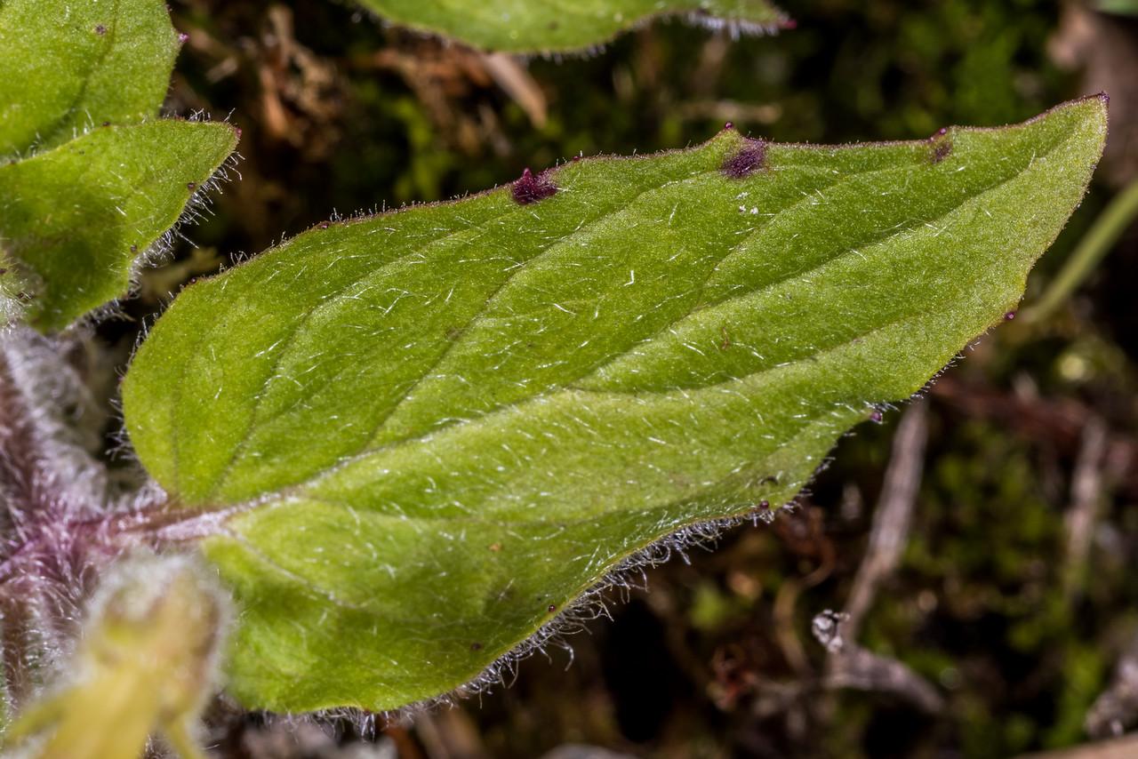 Musk (Erythranthe moschata). Iris Burn, Kepler Track, Fiordland National Park.