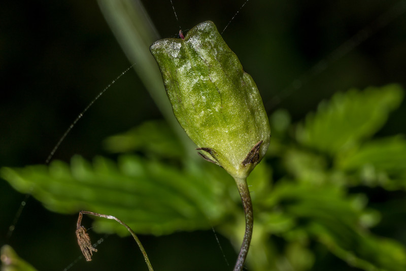Nemesia floribunda. Sandfly Bay, Otago Peninsula