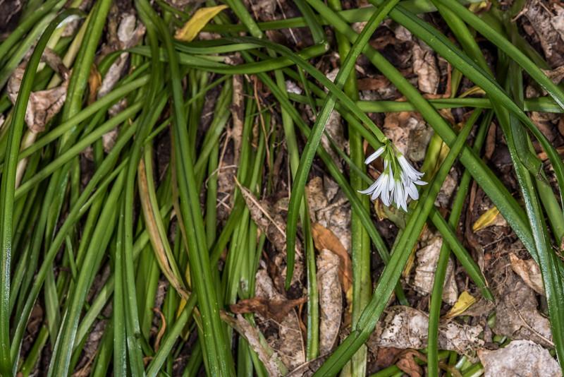 Onion weed (Allium triquetrum). Tomahawk Track, Dunedin.