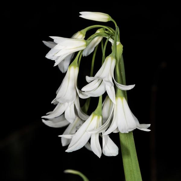 Onion weed (Allium triquetrum). Opoho, Dunedin.