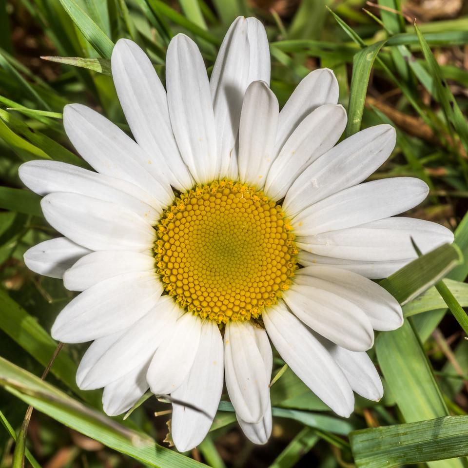 Oxeye daisy (Leucanthemum vulgare). Tomahawk Track, Dunedin.