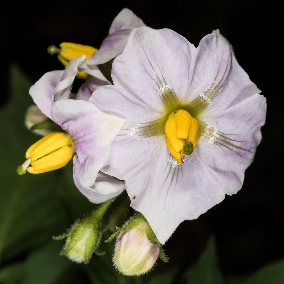 Potato (Solanum tuberosum). Opoho, Dunedin.