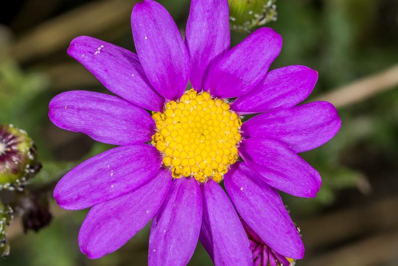 Purple groundsel (Senecio elegans). Sandfly Bay, Otago Peninsula