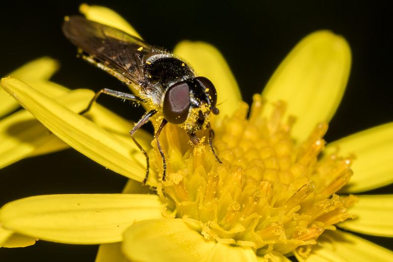 Female large hover fly (Melangyna novaezelandiae) on ragwort (Jacobaea vulgaris). Raspberry Flat, Matukituki River West Branch.
