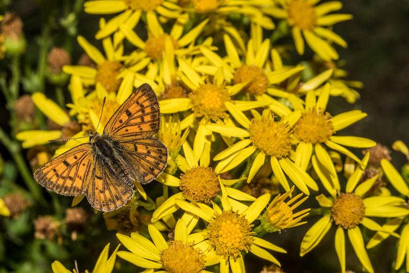 Common copper / pepe para riki (Lycaena salustius) on ragwort (Jacobaea vulgaris). Raspberry Flat, Matukituki River West Branch.