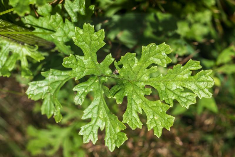Ragwort (Jacobaea vulgaris). Raspberry Flat, Matukituki River West Branch.