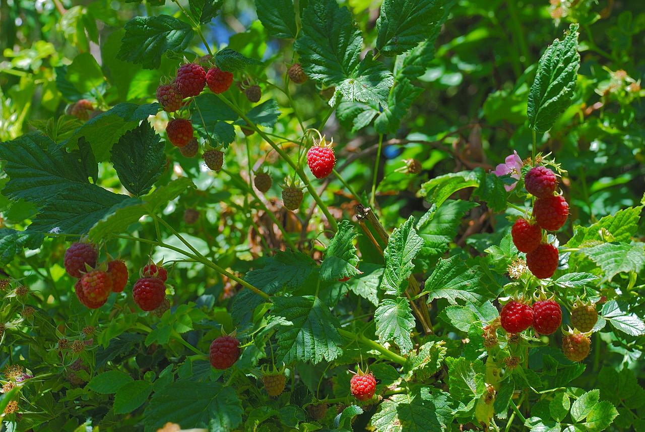 Raspberry (Rubus idaeus x strigosus). Macetown road, Arrowtown