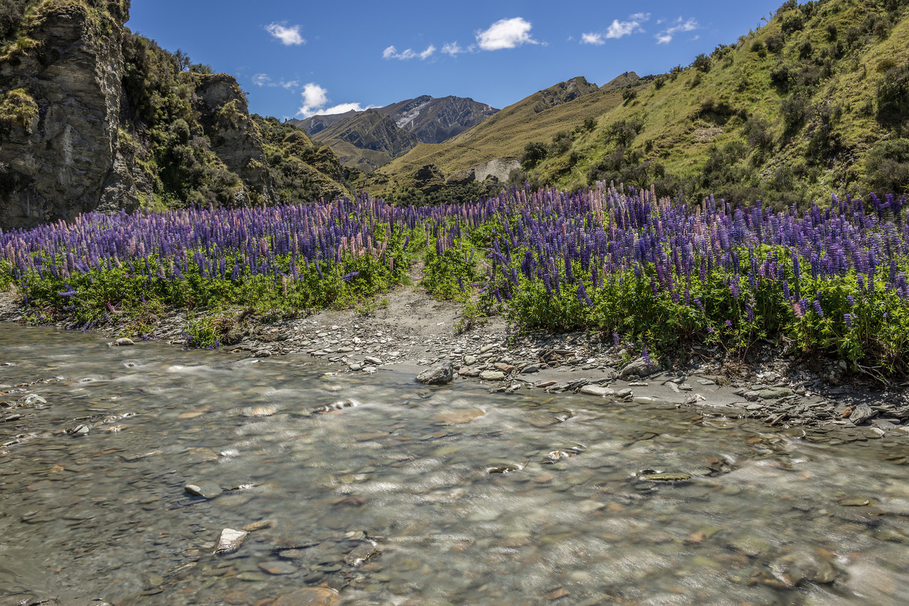 Russell lupin (Lupinus polyphyllus) in Skippers Creek