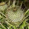 Scotch thistle (Cirsium vulgare). Heyward Point, Dunedin.