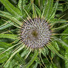 Scotch thistle (Cirsium vulgare) with flower buds. Tomahawk Track, Dunedin.