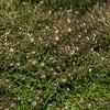 Shepherd's purse (Capsella bursa-pastoris). Heyward Point, Dunedin.