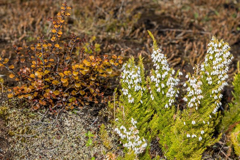 Spanish heath (Erica lusitanica). Castle Rocks, Abel Tasman Inland Track.