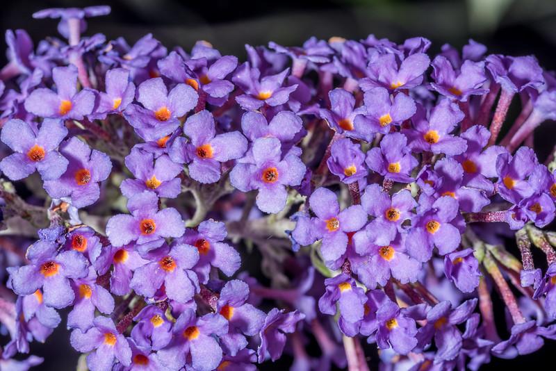 Summer lilac (Buddleja davidii). Opoho, Dunedin.