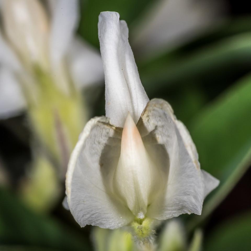 Tree lucerne (Chamaecytisus palmensis). Opoho, Dunedin.