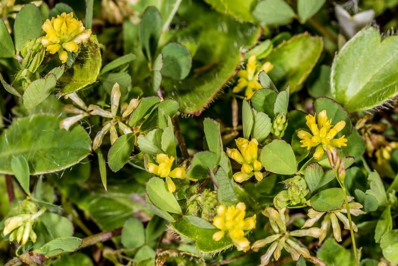 Suckling clover (Trifolium dubium). Iris Burn, Kepler Track, Fiordland National Park.