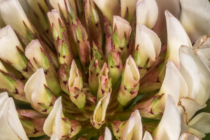White clover (Trifolium repens) flower detail. Tomahawk Track, Dunedin.