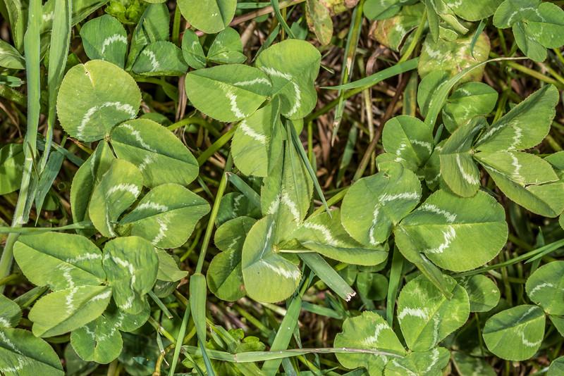 White clover (Trifolium repens) leaf. Tomahawk Track, Dunedin.