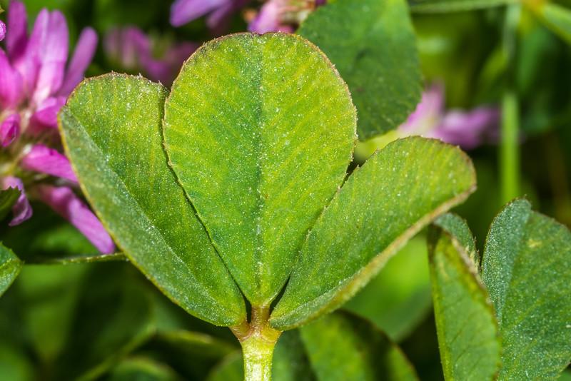 Reversed clover (Trifolium resupinatum). Ohira Bay, Chatham Island.