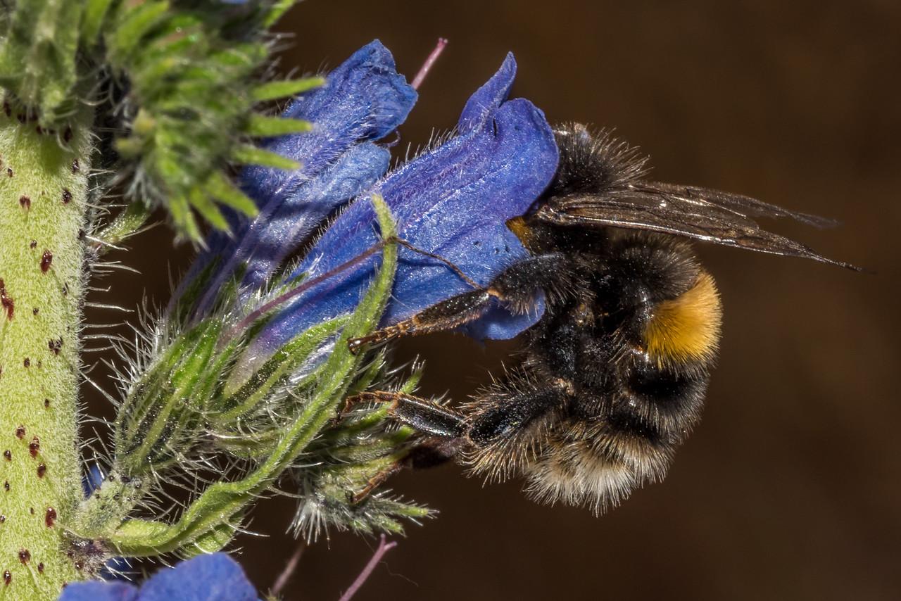 Buff-tailed bumblebee (Bombus terrestris) on viper's bugloss (Echium vulgare). Butchers Dam, Central Otago.