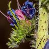 Viper's bugloss (Echium vulgare). Butchers Dam, Central Otago.