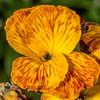 Wallflower (Cheiranthus cheiri). Murdering Beach / Whareakeake, Dunedin.