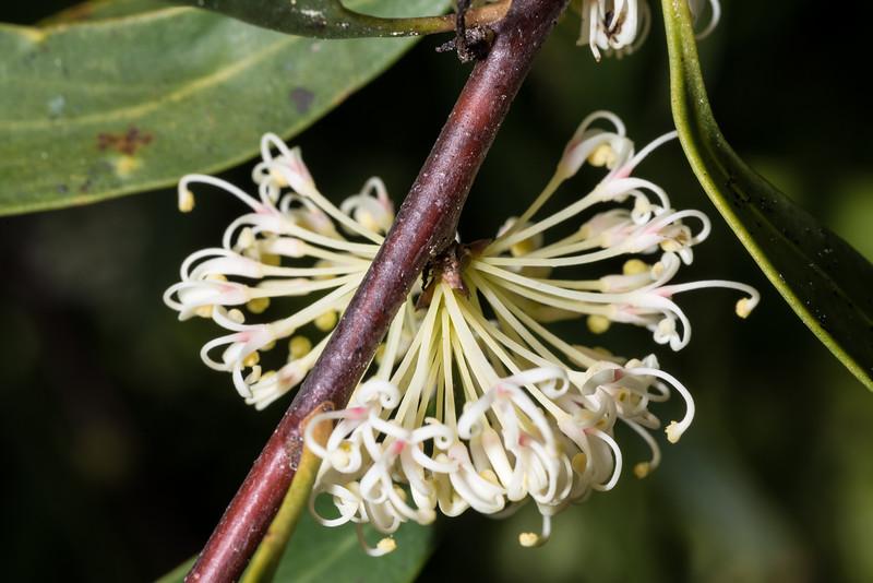 Willow-leaved hakea (Hakea salicifolia), an exotic weed. Abel Tasman Inland Track above Tinline Bay.